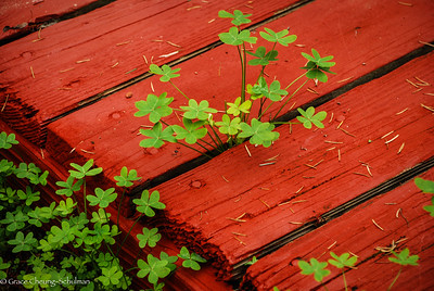 Clovers peeping out through the deck.