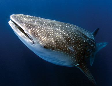 Whale shark rising from the depths