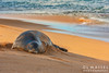 Resting seal on Beach Waipouli Beach