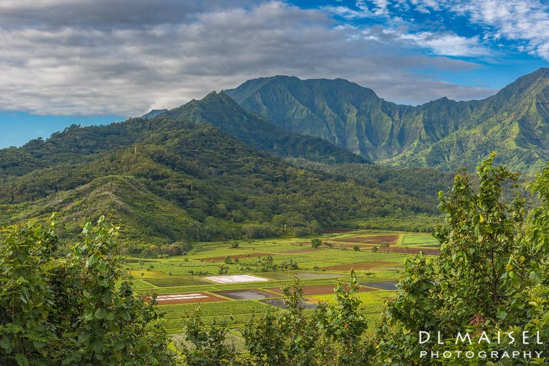 Taro Fields near Princeville Kauai