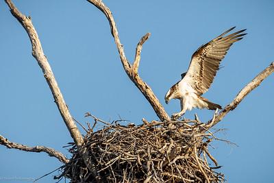The Osprey is landing!