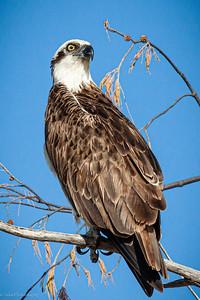 Ocean Sentinel Osprey