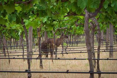 Kangaroo in Vines