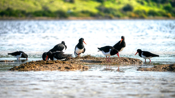 Oystercatchers-Reeves2