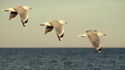 Gulls PIX (1)