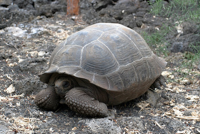 Young Galapagos tortoise