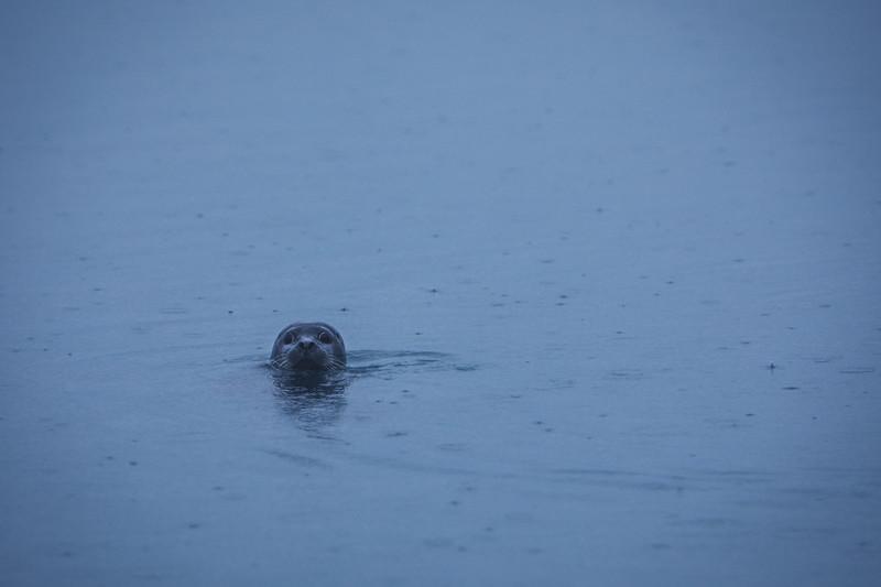 Seal, Jökulsárlón ice lagoon, Vatnajökull National Park