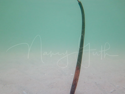 Mangrove shoot
