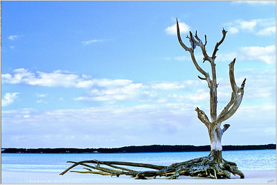 """""""Briland Landmark"""" The bare tree that once graced the pages of Sports Illustrated clad only in swimsuit supermodels, still stands silently in the shallows of Harbour Island awaiting their return."""