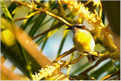 """Perched"" A small visitor joined me among the palm trees while waiting for one last sunset we departed Highbourne Cay for Nassau the following morning."