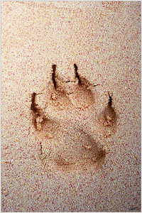 """""""Potcake"""" Found around the world painted on the walls of caves and cliff dwellings, there is no simpler, yet universally understood sign of passage than the simple outline of a human hand, or in this case, a Bahamian Potcake's paw!"""