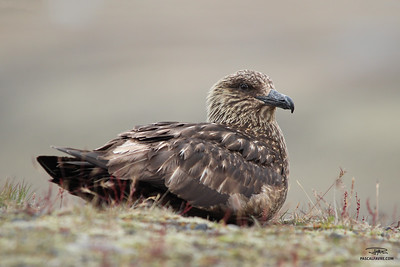Grand Labbe/Great Skua