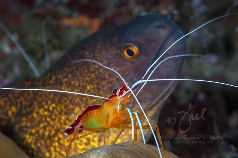Cleaner Shrimp ©2014 Janelle Orth