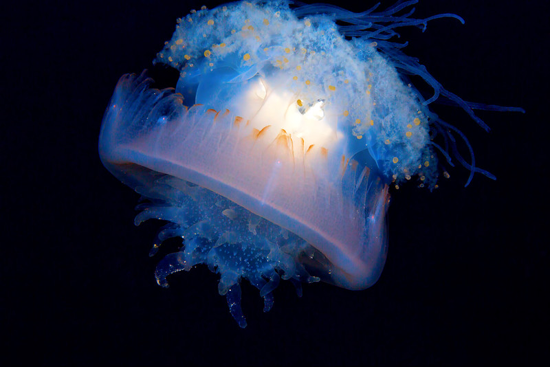 Crowned Jelly  ©2015  Janelle Orth