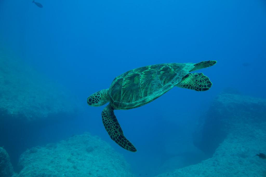 Green Sea Turtle  ©2014  Janelle Orth