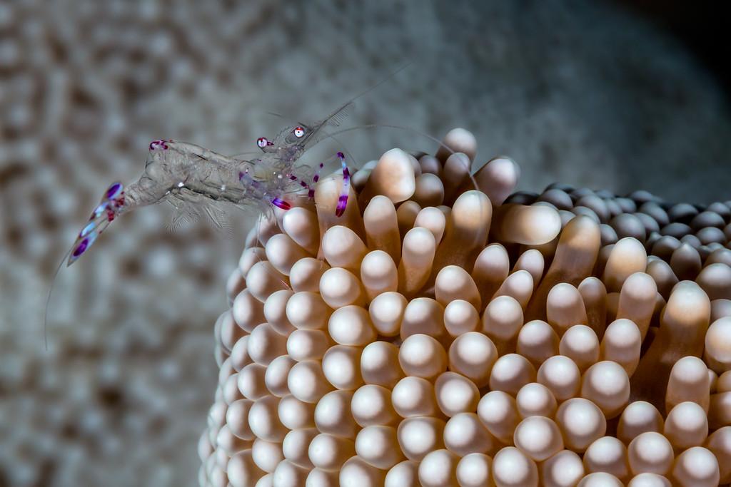 Commensal Shrimp  ©2016  Janelle Orth