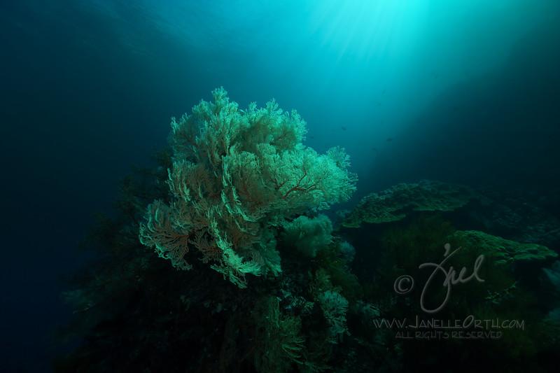 Sea Fan Sunlit  ©2018  Janelle Orth