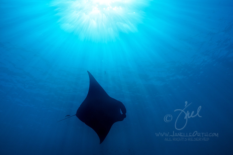 Manta Ray Silhouette  ©2017  Janelle Orth