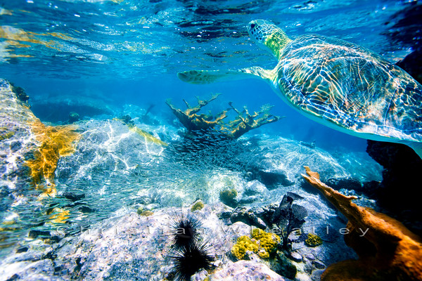 turtle with reef
