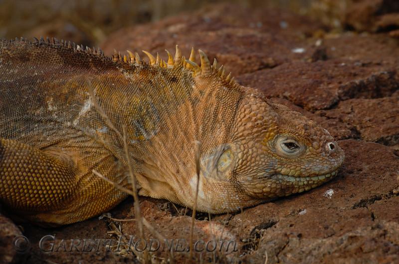 Land Iguana (Conolophus pallidus)