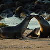 Galapagos Sea Lions (Zalophus californianus wollebaeki) in love.