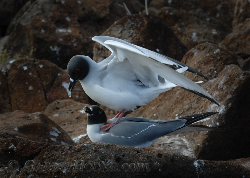 Swallow-tailed Gulls (Creagrus furcatus) getting ready to mate.
