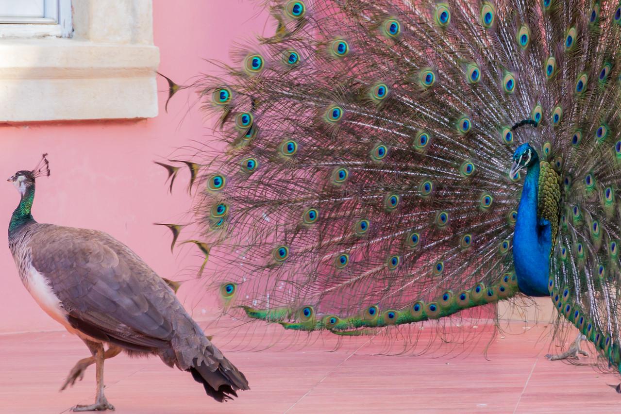 Peacock Pursuit