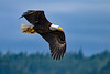 Bald Eagle (Haliaeetus leucocephalus) - Seabeck, Washington