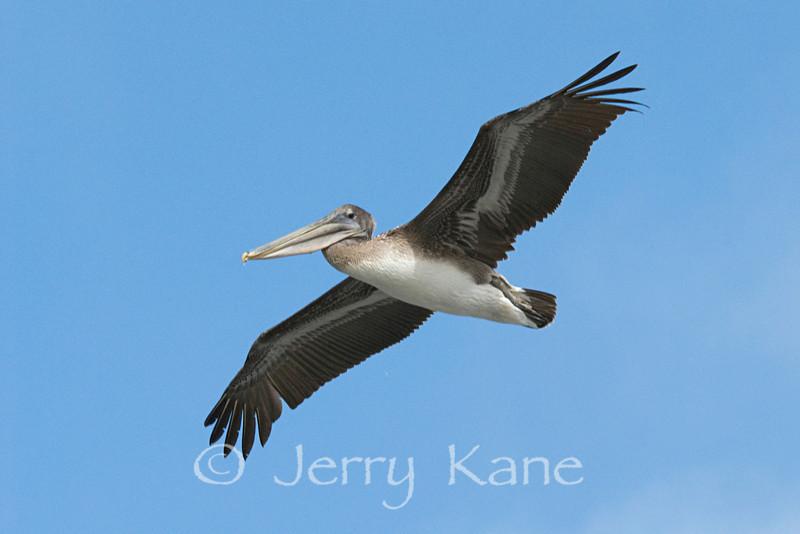 Brown Pelican (Pelecanus occidentalis) - La Jolla, California