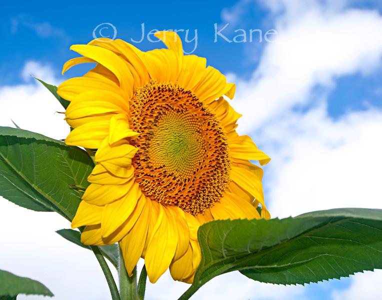 Giant Sunflower (Girasol mammoth) - Puuanahulu, Big Island, Hawaii