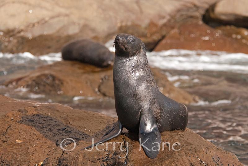 Juvenile California Sea Lion (Zalophus californianus) - Guadalupe Island, Baja California, Mexico