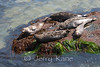 Harbor Seals (Phoca vitulina) - La Jolla, California