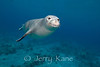 Hawaiian Monk Seal (Monachus schauinslandi) - Hookena, Big Island, Hawaii