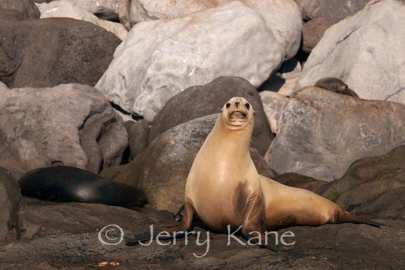 California Sea Lion (Zalophus californianus) - Guadalupe Island, Baja California, Mexico