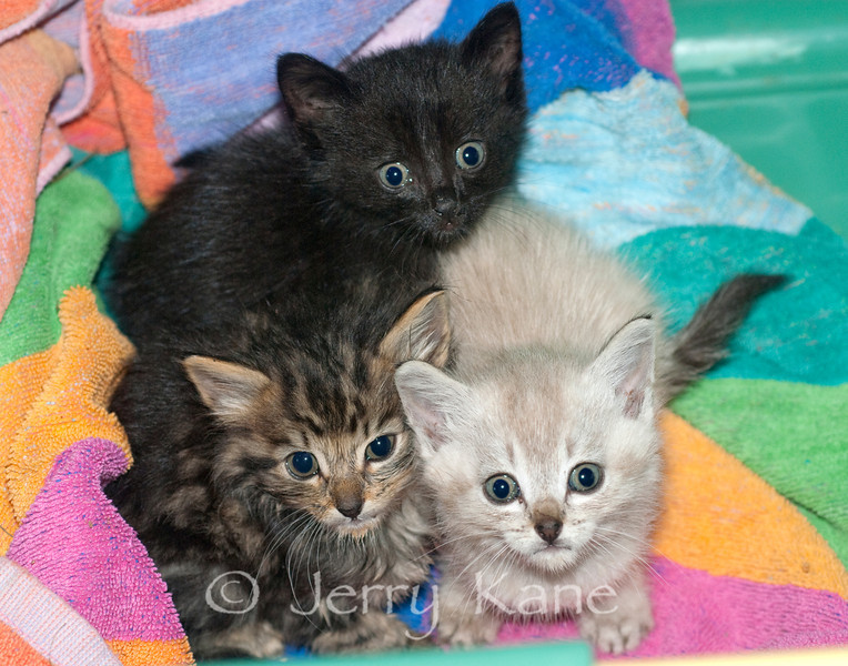 ~6 week old apparently abandoned feral kittens just rescued from the tall weeds on a rainy day - Big Island, Hawaii
