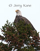 Bald Eagle (Haliaeetus leucocephalus) - Winter Harbor, Maine