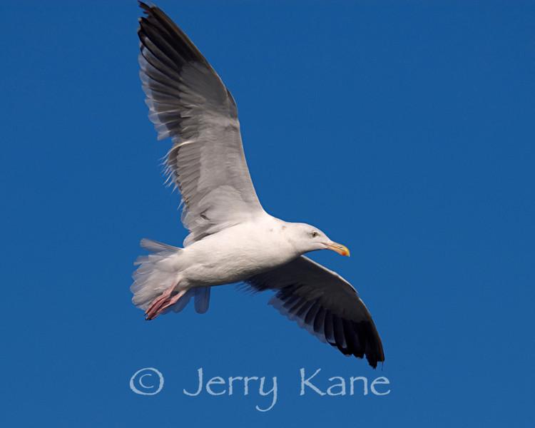 Herring Gull (Larus argentatus) - San Diego, California