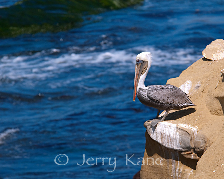 Brown Pelican (Pelecanus occidentalis) - La Jolla, California