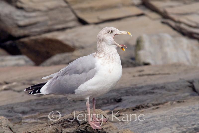 Ring-billed Gull (Larus delawarensis) - Cape Elizabeth, Maine