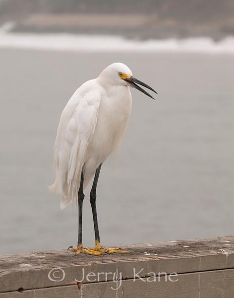 Snowy Egret (Egretta thula) - San Diego, California