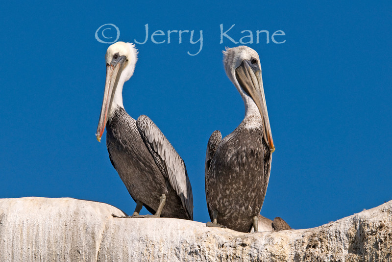 Brown Pelicans (Pelecanus occidentalis) - La Jolla, California