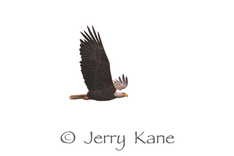 Bald Eagle (Haliaeetus leucocephalus) - Winter Harbor, Maine