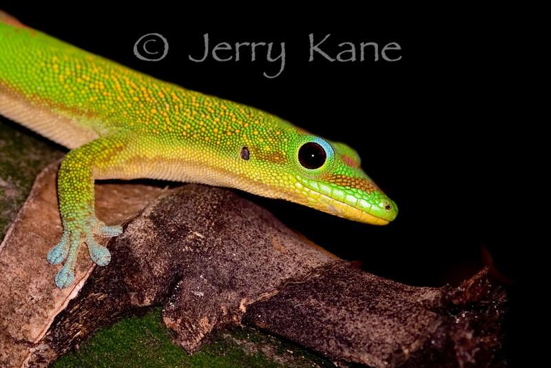 Gold dust day gecko, aka Madagascar gecko (Phelsuma laticauda) - Kona, Hawaii