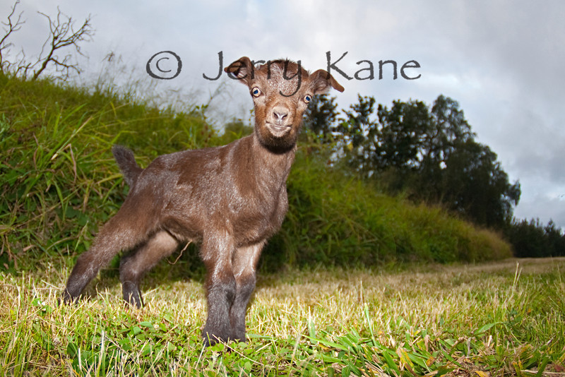 Baby Wild Goat - West Hawaii, Big Island, Hawaii