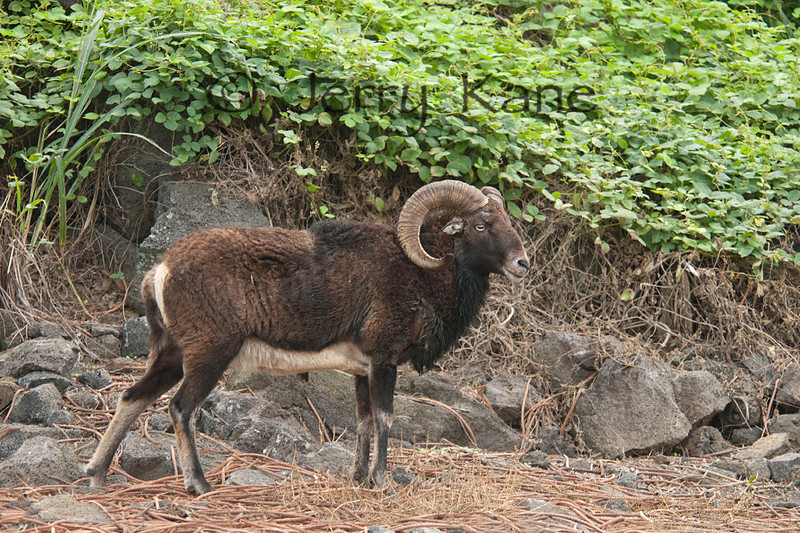 Mouflon - Puuanahulu, Big Island, Hawaii.  (A hybrid of Ovis gmelini musimon that were brought to Hawaii in the 1960's and cross bred with domestic sheep and released on Mauna Kea.)