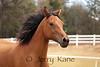 Koa, an Arabian horse at Puu Lani Ranch, Big Island, Hawaii