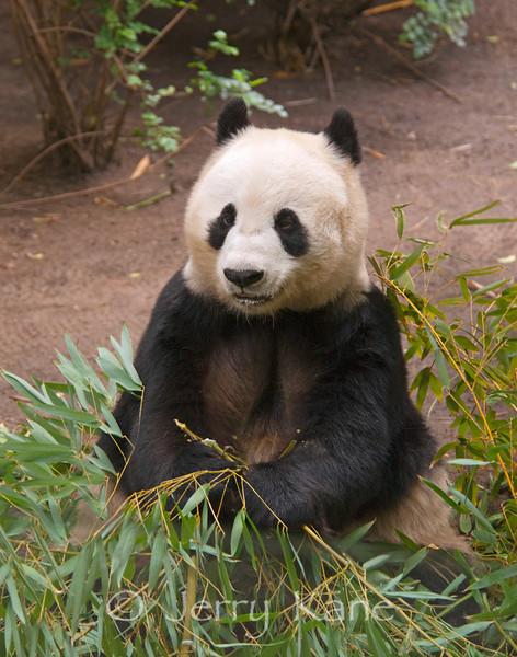 Giant Panda (Ailuropoda melanoleuca) - San Diego Zoo, from Southwestern China, endangered.
