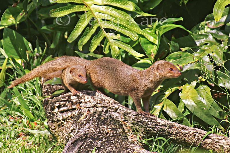 Indian Mongoose (Herpestes javanicus) - Kona, Big Island, Hawaii