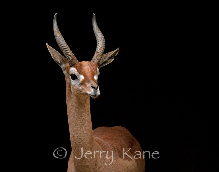 Antelope (sp??) - San Diego Zoo