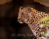 Amur Leopard (Panthera Pardus orientalis) - San Diego Zoo, from Southwestern Russia, critically endangered.